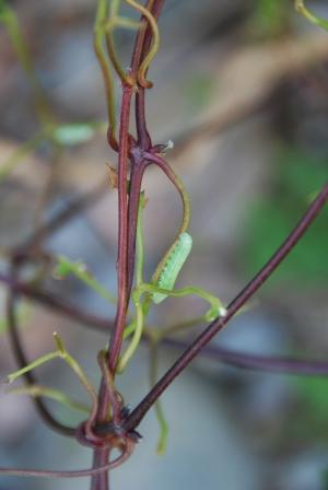 En larvjäkel