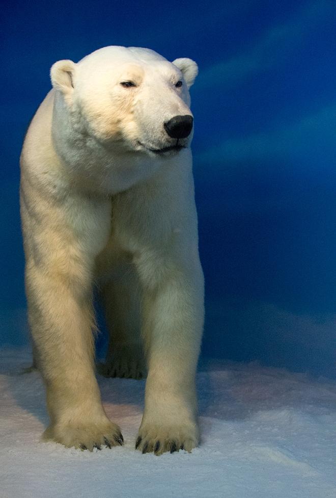 Isbjörn-Naturhistoriska