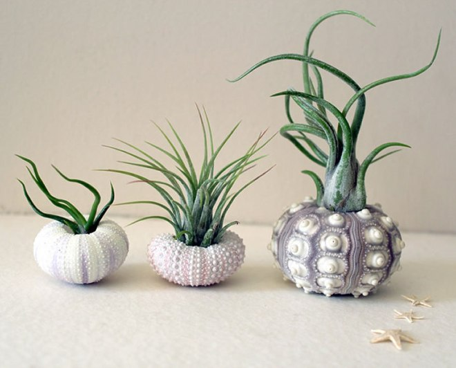 Etsy Mixed trio Air plant sea urchins