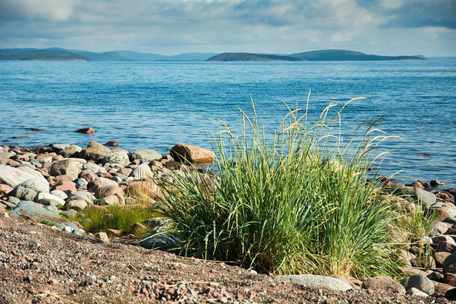 Hägget Norrfällsviken grästuva